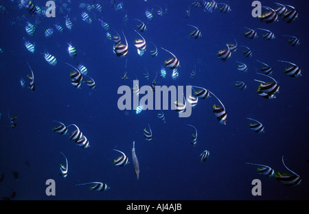 Schooling bannerfish shoal in the Maldives - Stock Photo