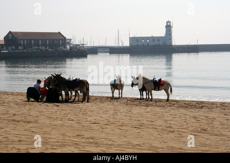 Man walking with donkeys on Scarborough South Bay beach, Scarborough, North Yorkshire, England. - Stock Photo
