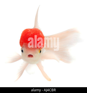 goldfish common carp Shishigashira Fantail white oranda with red cap Lionhead Carassius auratus auratus - Stock Photo