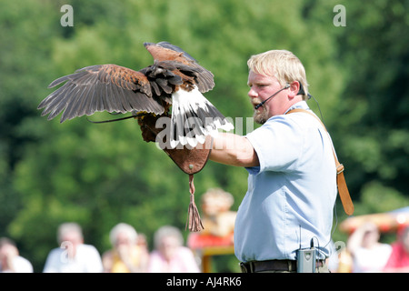 Colin Urwin from Dunluce Falconry shows a harris hawk Parabuteo unicinctus to the crowd - Stock Photo