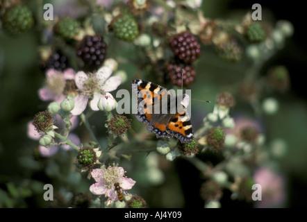 Small Tortoishell Aglais urticae Wings open on Blackberry bush - Stock Photo