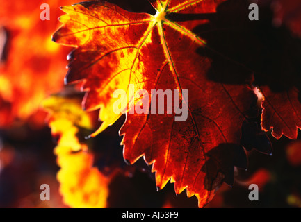 Rich red and gold Autumn Vine leaf Spain