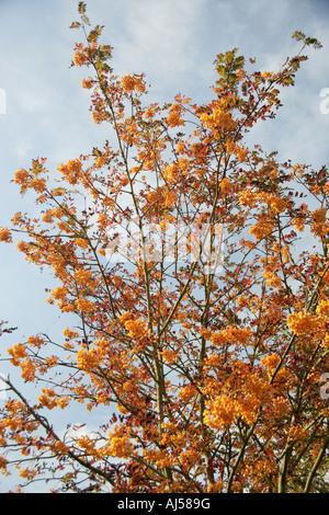 Rowan tree yellow berried Sorbus Joseph Rock - Stock Photo