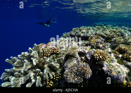 Free diver explores pristine coral reef mainly Acropora spp Ailuk atoll Marshall Islands Pacific - Stock Photo