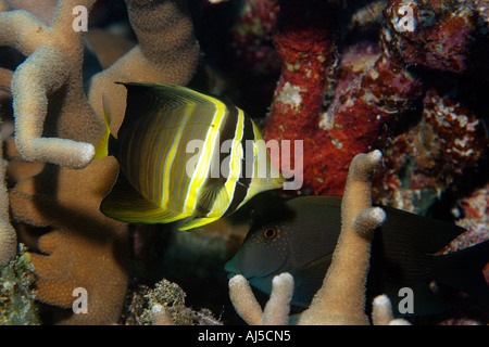 Pacific sailfin tang Zebrasoma veliferum and brown surgeonfish Acanthurus nigrofuscus  Porites cylindri - Stock Photo