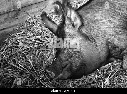 Prize winning pig asleep in stall at local agricultural show - Stock Photo