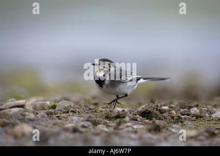 Pied Wagtail Motacilla alba - Stock Photo