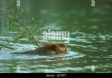An American Beaver towing a willow branch across the water to its dam - Stock Photo
