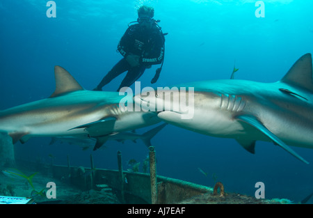 DIVER STUART COVE SWIMS WITH CARIBBEAN REEF SHARKS CARCHARHINUS PEREZI OVER A WRECK IN THE BAHAMAS - Stock Photo