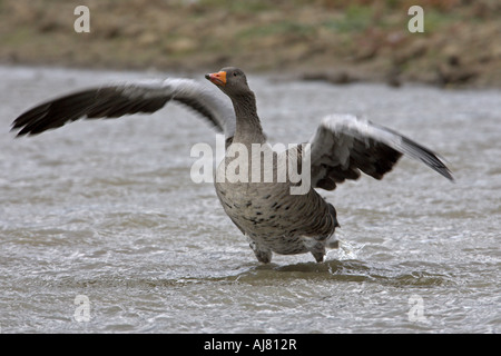 Greylag Goose Anser anser standing in water wing flapping Cley Marsh North Norfolk England - Stock Photo