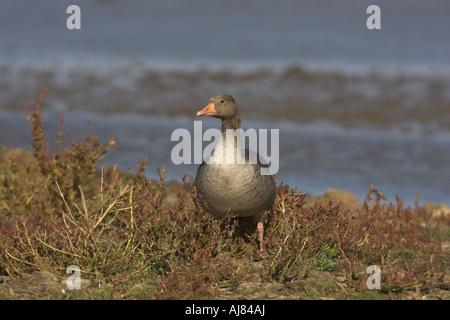Greylag Goose Anser anser standing on island Cley Marsh North Norfolk England - Stock Photo
