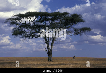 Acacia and distant giraffe Seregeti Tanzania - Stock Photo