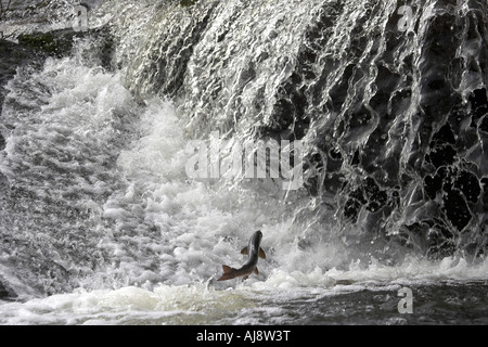 Atlantic Salmon Salmo salar leaping at the ettrick water weir Philiphaugh scotland UK - Stock Photo