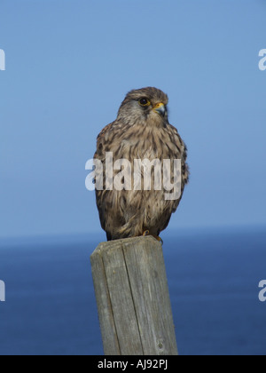 A young kestrel sat on a fence post near the cornish coast - Stock Photo