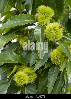 Sweet chestnut tree branch with leaves and nutshells visible castanea sativa - Stock Photo