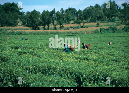 Tea pickers near Kericho Western Kenya - Stock Photo