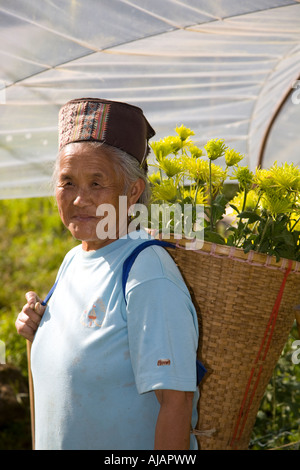 Asian woman picking Chrysanthemum, blooms, flowers, & crops growing in garden Polythene polytunnels or Greenhouse, - Stock Photo