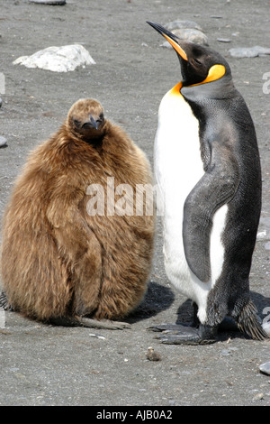 King Penguin mother and baby chick at St Andrews Bay South Georgia the world s largest rookery - Stock Photo