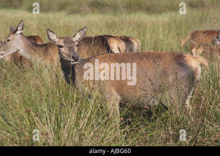 Hind red deer grazing with herd behind in long grass - Stock Photo