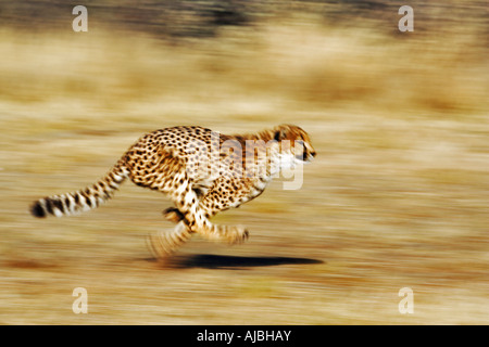 Front View of a Female Cheetah (Acinonyx jubatus) Running - Stock Photo