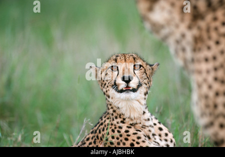 Portrait of a Female Cheetah (Acinonyx jubatus) Snarling - Stock Photo