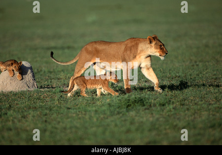 Portrait of Lioness (Panthera leo) and Cubs on Bushveld Plain - Stock Photo