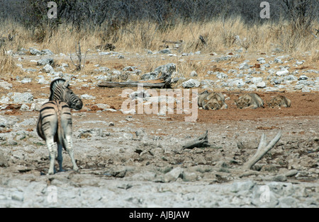 Three Female Lions (Panthera leo) Stalking Burchell's Zebra (Equus burchellii) - Stock Photo