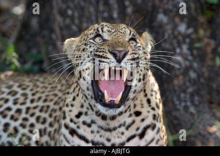 Leopard (Panthera pardus) Looking Up - Snarling - Stock Photo