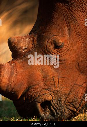 White Rhinoceros (Ceratotherium sim) Grazing - Close Up of the Head - Stock Photo