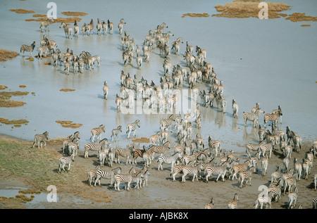 Burchell's Zebra (Equus burchellii) Herd at a Pan - Aerial View - Stock Photo