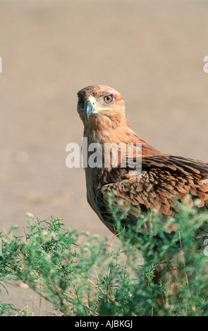 Portrait of a Tawny Eagle (Aquila rapax) Perched in a Tree - Stock Photo