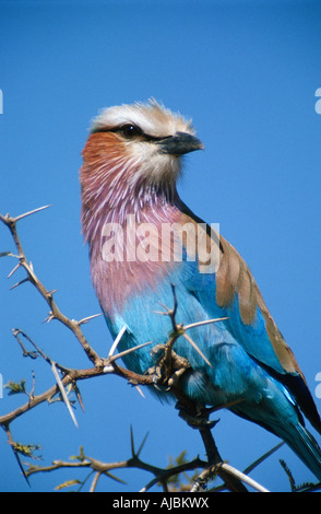 Portrait of a Lilac-breasted Roller (Coracias caudata) Perched in a Thorn Tree - Stock Photo