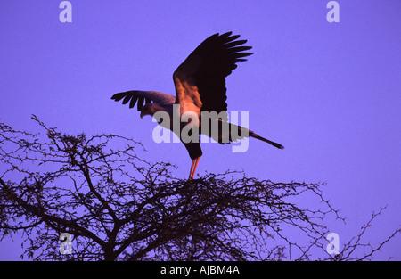 Sagittarius serpentarius, Secretary Bird - Stock Photo