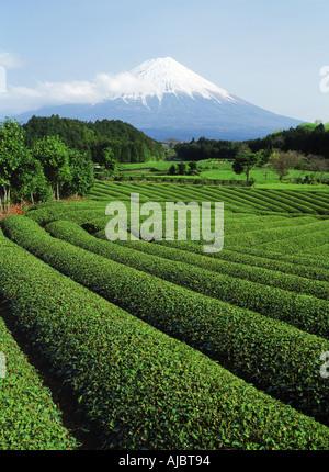 Snow covered Mount Fuji above tea fields on Honshu Island - Stock Photo