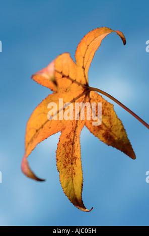 Maple Tree Leaf Against a Blue Sky - Stock Photo