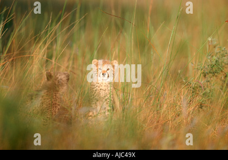 View of Two Young Cheetah (Acinonyx jubatus) in long Grass - Stock Photo