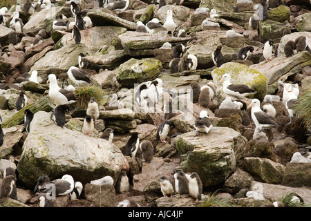 Southern Rockhopper Penguin (Eudyptes chrysocome chrysocome) Colony with Black-Browed Albatross (Diomedea melanophris) - Stock Photo