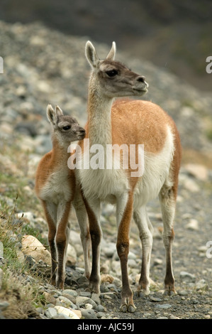 Guanaco (Lama guanicoe) Mother with Baby on Hillside - Stock Photo