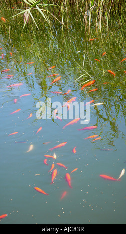 goldfish, common carp (Carassius auratus), waiting for feeding - Stock Photo