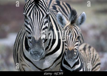 Zebra mother and offspring nr Namutoni Etosha National Park Namibia - Stock Photo