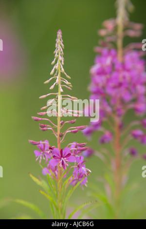 Rosebay willowherb backlit Millers Dale Derbyshire July - Stock Photo