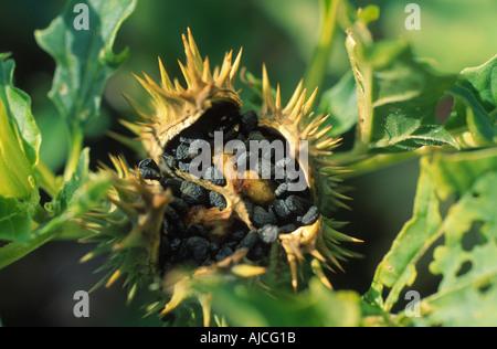 stramonium, jimsonweed, thornapple, jimson weed (Datura stramonium), open pod with seeds - Stock Photo
