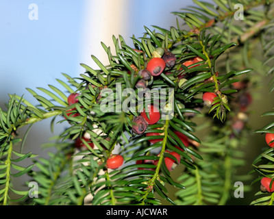 Wescott Surrey England Yew Tree and Berries all parts of the Yew are Poisonous - Stock Photo