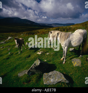 Wild pony and foal in the Afon Careg Valley Carneddau Wales - Stock Photo
