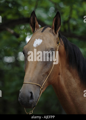 The Akhal-Teke horse - Stock Photo