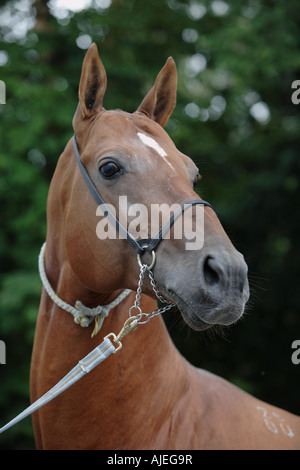 Portrait of the Akhal-Teke horse - Stock Photo
