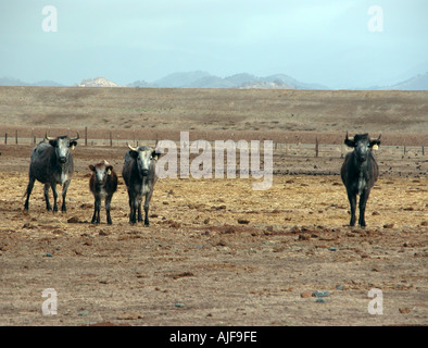 three to one cows in central CA USA - Stock Photo