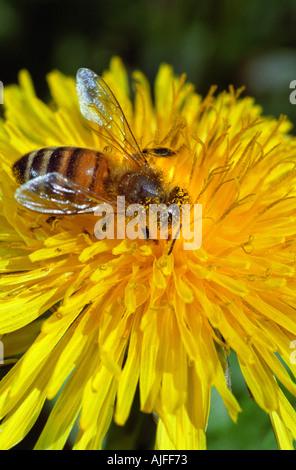 Honey bee on dandelion flower