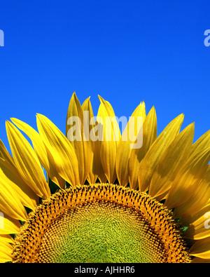 FLORA:  Sunflower (lat: helianthus) - Stock Photo