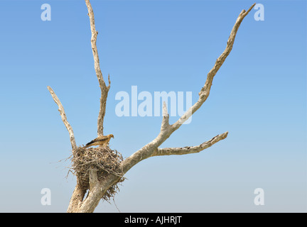 whistling kite sits high up in its nest in a tree in front of blue sky copy space - Stock Photo